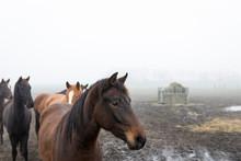 Brown Horses In A Meadow, Dutc...