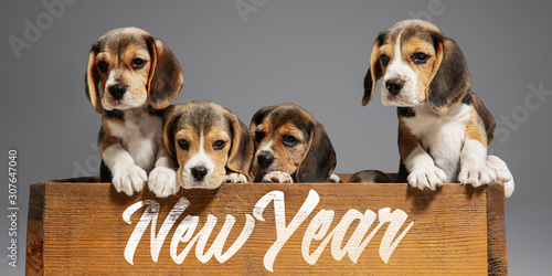 Obraz New Year 2020. Beagle tricolor puppies are posing. Cute white-braun-black doggies or pets playing on grey background. Look attented and playful. Studio photoshot. Concept of motion, movement, action. - fototapety do salonu