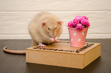 White Rat Sits On A Beautiful Openwork Wooden Stand With A Bucket Of Pink Rose Flowers, Wash It Face, On Black And White Wooden Background. Picture For A Greeting Card.
