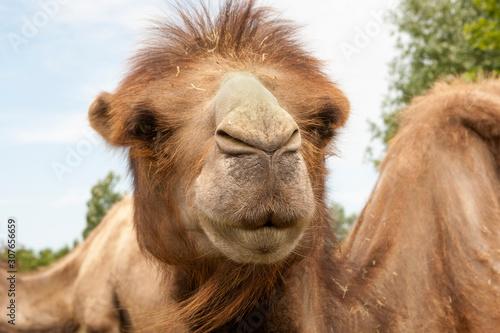Foto auf Leinwand Kameel Starende kameel