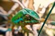 Grün, Gelb, Orange, Panther Chamäleon auf Ast