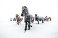 Horses In Snowstorm