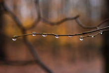 Raindrops At Twig In Autumn Fo...