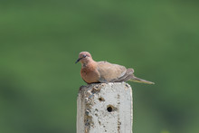 Laughing Dove Photographed In ...