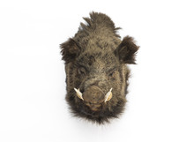 Stuffed Boar Head Isolated On ...