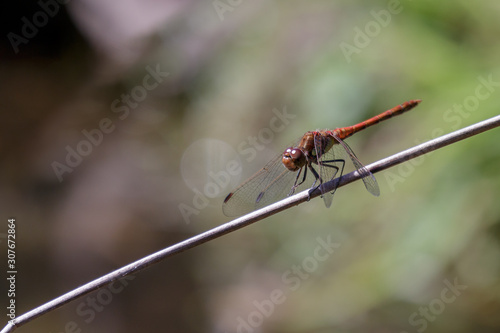 Common Darter (Sympetrum striolatum) Fototapet