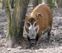 Red River Hog (Potamochoerus P...