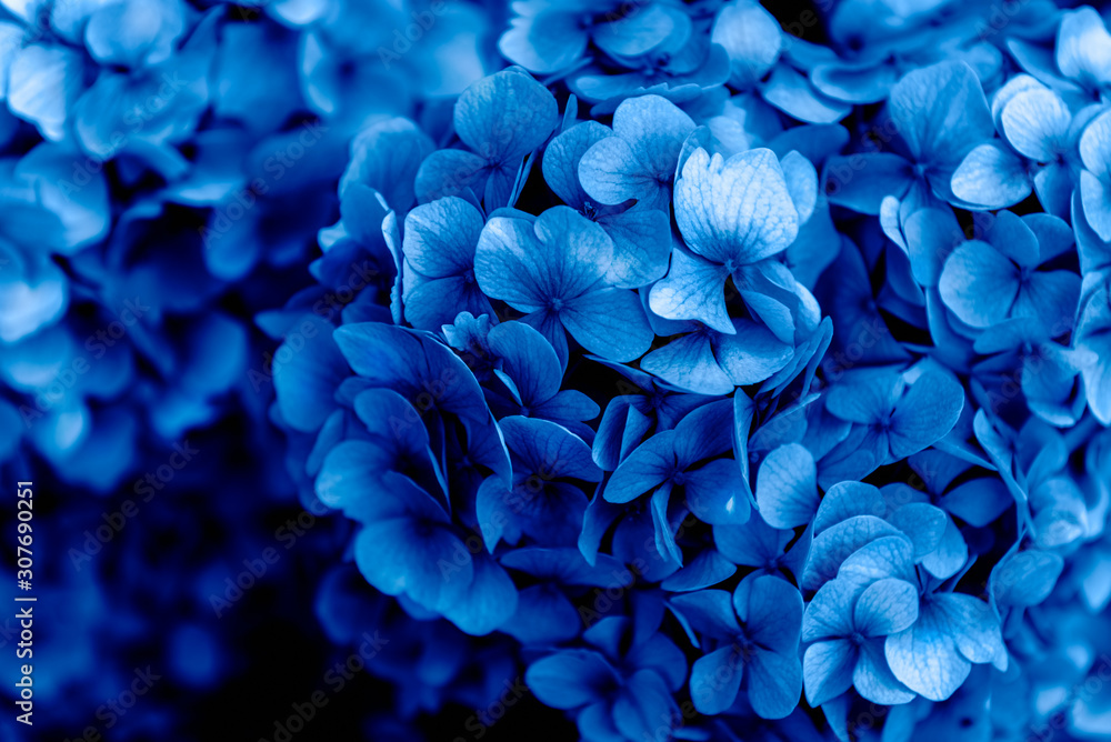 Fototapeta Beautiful Blue Hydrangea Flowers in the Garden on Sunny Summer Day