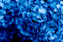 Beautiful Blue Hydrangea Flowe...