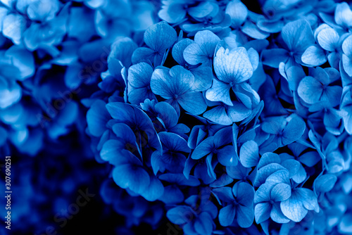 Beautiful Blue Hydrangea Flowers in the Garden on Sunny Summer Day Slika na platnu