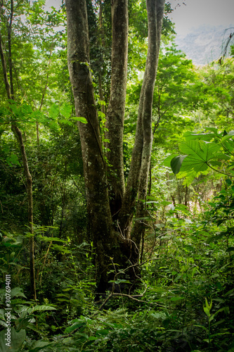 Trees in the Atlantic Rainforest, one of Brazil's largest and most endangered biomes Wallpaper Mural