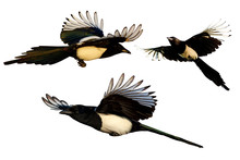 Isolated Flying Bird. White Background. Bird: Eurasian Magpie. Pica Pica.
