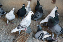 Group Of Carrier Pigeons Resting Inside The Structures And Supports Of Their Loft