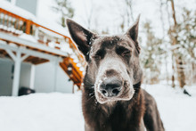 Portrait Of German Shepherd In New England Snow Setting