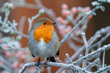 Robin On Frosty Branch