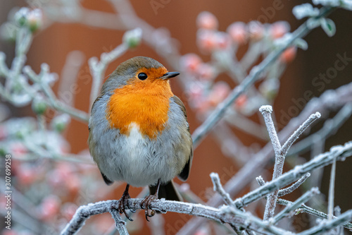 Obraz na plátně Robin on frosty branch