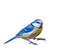 Colorful bird blue tit. Isolated cute bird. White background. Bird: Eurasian Blue Tit. Cyanistes caeruleus.