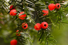 Yew-tree With Red Berries On G...