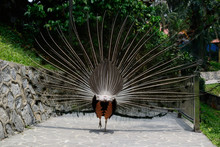 Beautiful Peacock Tail From The Back Side