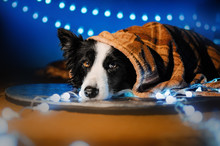 Border Collie Dog New Year Card Photo With Lights Magic Light Christmas New Year