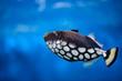 canvas print picture - Tropical fish Balistoides conspilum, in an aquarium