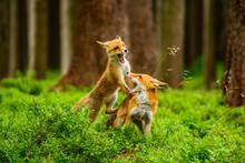Red Fox, Vulpes Vulpes, Adult ...