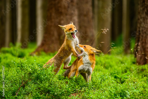 Photo Red fox, vulpes vulpes, adult fox with young