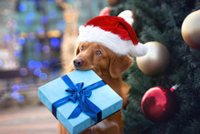 Retriever Dog In Santa Hat Holding A Christmas Gift Box In Mouth In Front Of A Christmas Tree Outdoors