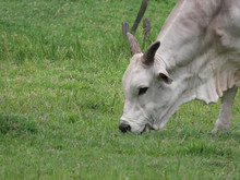 Nelore Ox Eating Grass. This A...