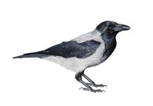 Hooded Crow (Corvus Cornix) Isolated On White Background