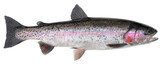 Fototapeta Tęcza - Freshwater fish isolated on white background closeup. The  rainbow trout or the steelhead  is a  fish in the family salmonid, type species: Oncorhynchus mykiss.