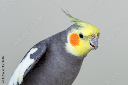 Vászonkép Cute cockatiel bird with grey and yellow feathers against a grey background