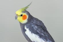 Cute Cockatiel Bird With Grey ...