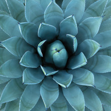 Blue Agave Plant Used In Makin...