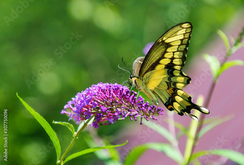 A giant swallowtail butterfly showing the yellow underside of its wings feeds from a purple butterfly bush