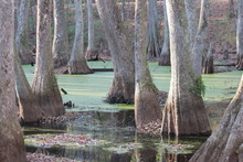 Cypress Tree Swamp In Mississi...