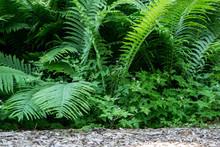 Ostrich Ferns. Ostrich Ferns Are An Edible Plant Native To The Upper Peninsula Of Michigan.