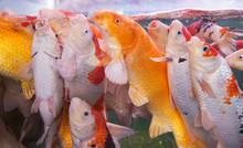 Crowd Of Carp Fish In Aquarium...