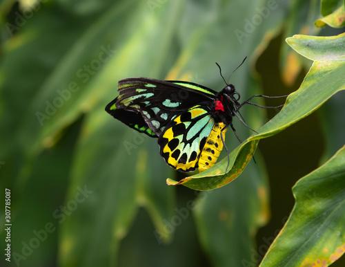 Queen Alexandra Birdwings Ornithoptera Alexandrae Butterfly Wallpaper Mural