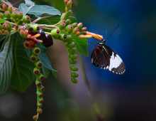 Tiger Longwing Golden Helicon ...