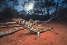 Sand Monitor Lizard (Varanus Gouldii) At Dawn In Mallee Habitat