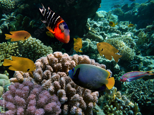 red-sea-coral-reef-with-hard-coral-and-emperor-angelfish