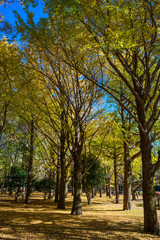 Autumn colors of Japanese maples and Ginko biloba trees in a park in Tokyo, Japan, in early December