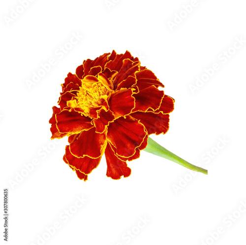 Photo A flower garden marigolds on a white background.