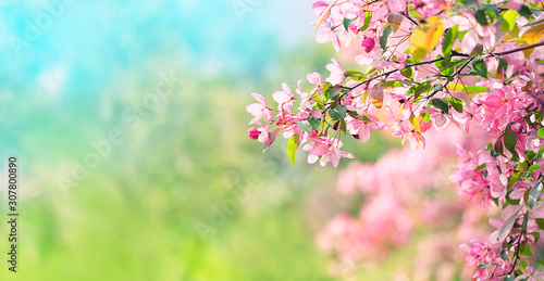 Pink plum flowers in spring garden. Spring blooming cherry flowers branch on natural abstract background. Atmosphere gentle Spring image. banner. copy space. template for design