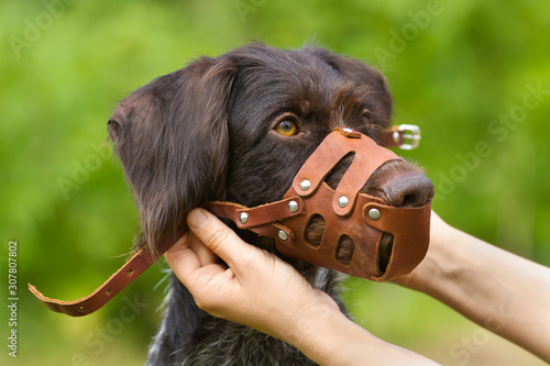 the owner fastens the muzzle on his dog Fototapete