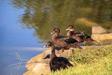 Juvenile Muscovy Duck Cairina ...