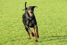 Dobermann Dog Running Towards ...