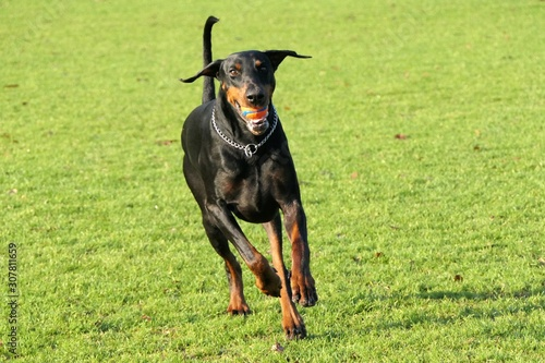 Fotografía Dobermann dog running towards the camera with a ball