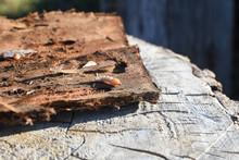 Wood Worm Make Damage. Bark Beetle Larvae Under The Bark.  Insect Pest Spoils Material